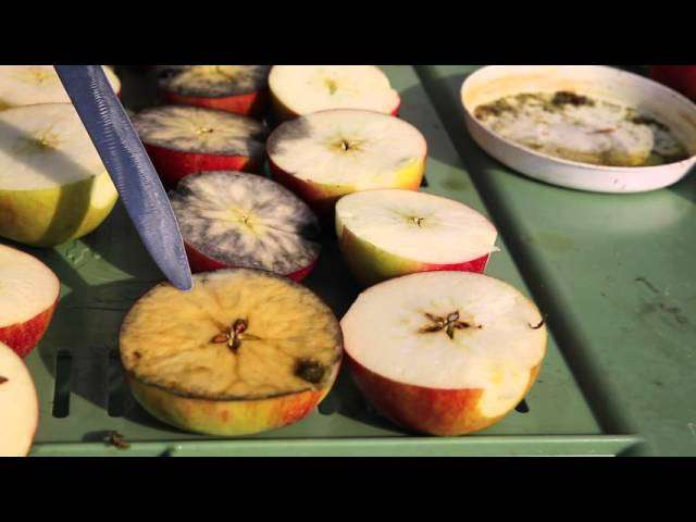Zdrowotność jabłek a test skrobiowy.