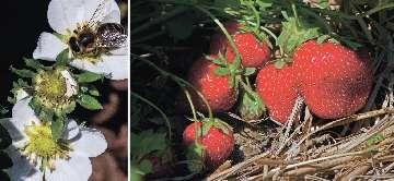 darselect truskawki