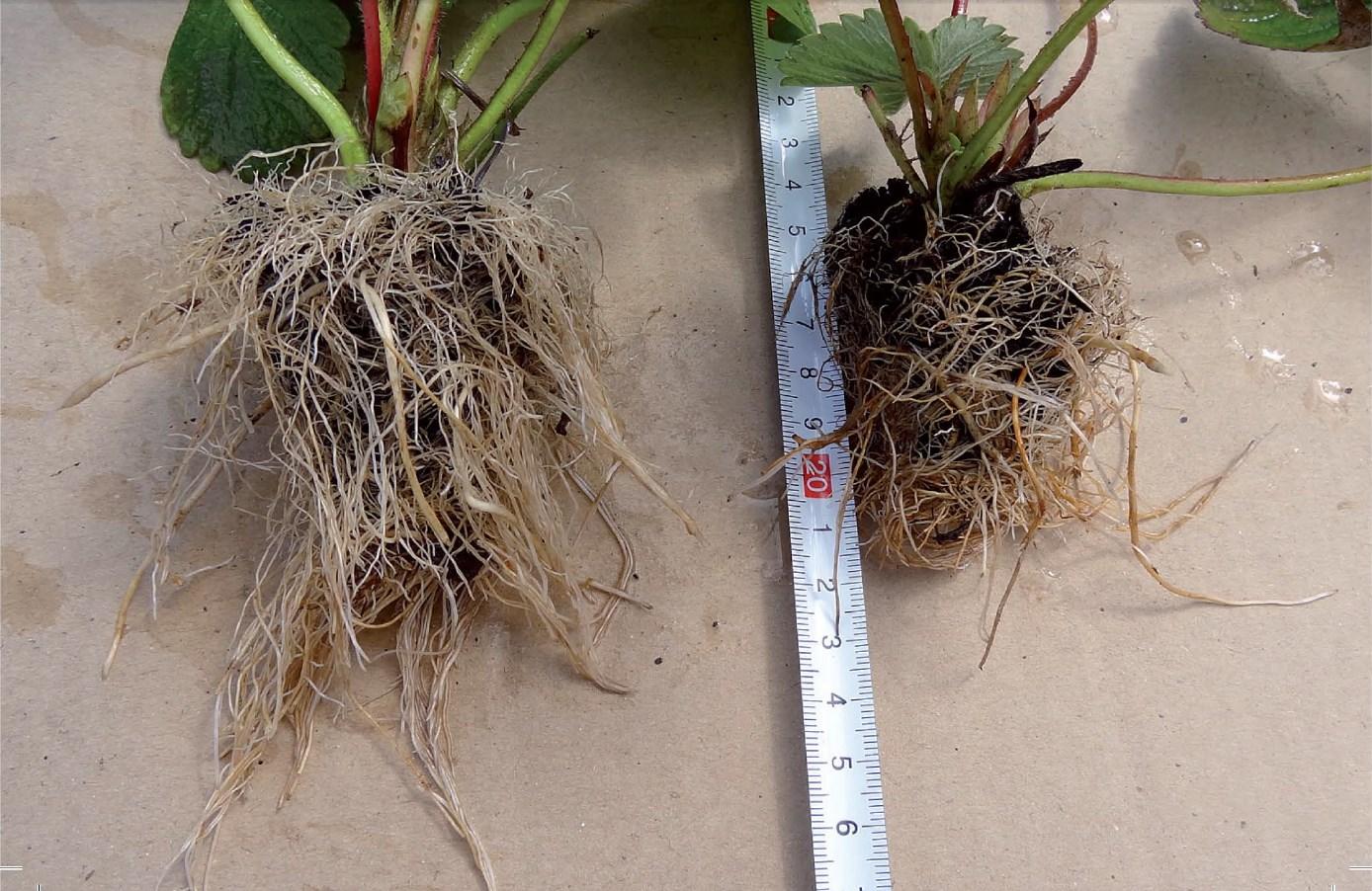 truskawki uprawa i pielęgnacja