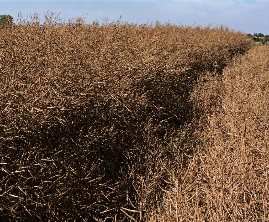 choroby grzybowe zbóż