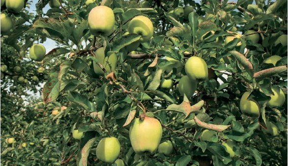 jabłonie bezparchowe
