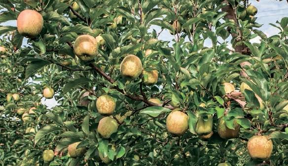 zwalczanie mączniaka jabłoni