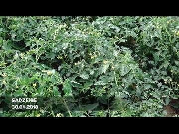 choroby grzybowe pomidorów pod osłonami
