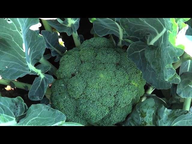 sianie warzyw