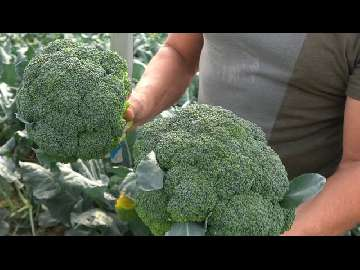uprawy brokuła