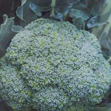 zbiory brokuł