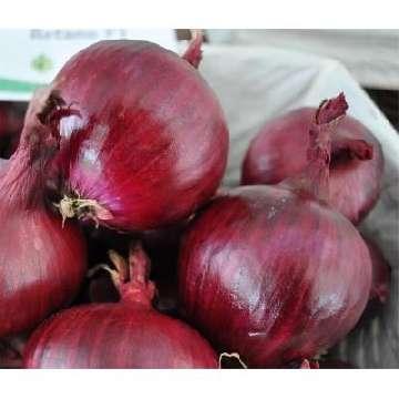 szkodniki cebuli i ich zwalczanie