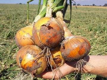 uprawa cebuli na nasiona