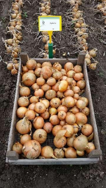 uprawa cebuli siedmiolatki