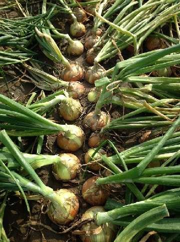 zaprawianie cebuli