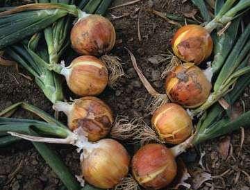 cebula cukrowa uprawa