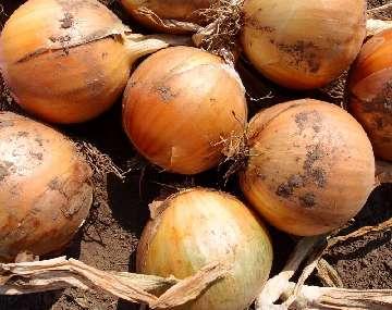 herbicydy w uprawie cebuli