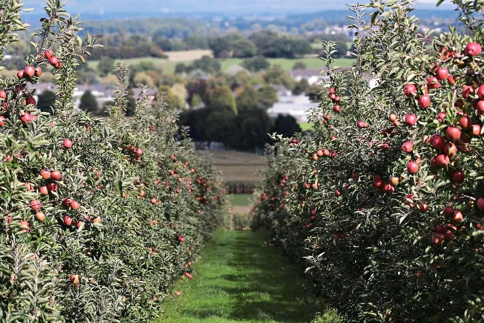 choroby jabłoni mączniak