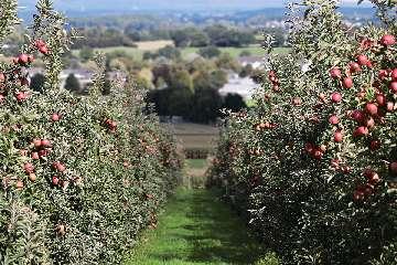 jabłoń honeycrisp