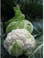 uprawa kalafiorów