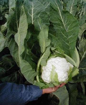 terminy siewu warzyw