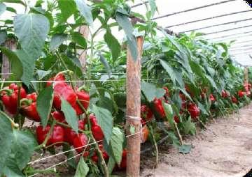 papryka czereśniowa nasiona