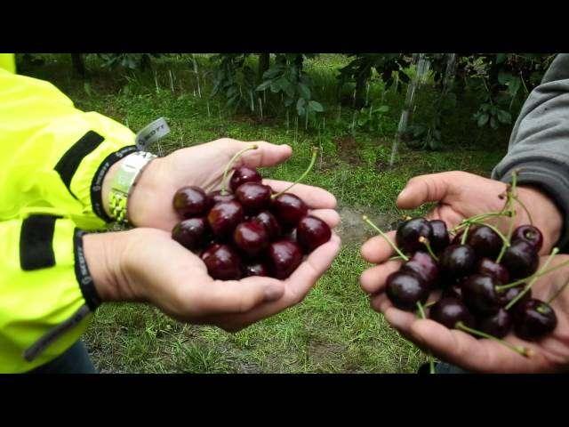 gorzka zgnilizna owoców wiśni