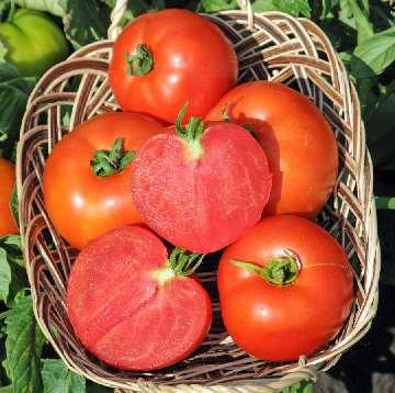nawozenie pomidorów