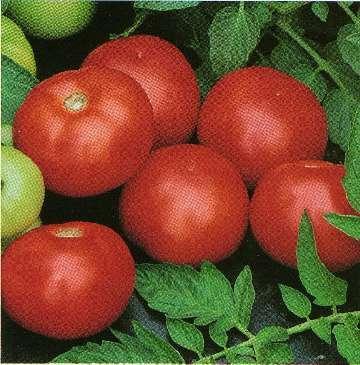nawożenie pomidorów gruntowych