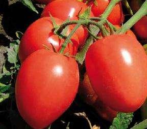 nawożenie rozsady pomidora