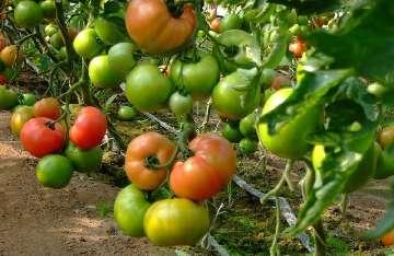 nawóz do pomidorów koktajlowych