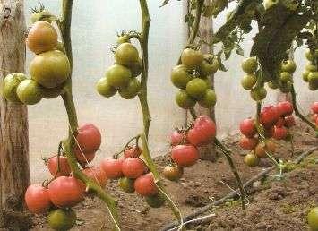 nawóz naturalny do pomidorów