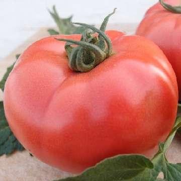 nowe odmiany pomidorów