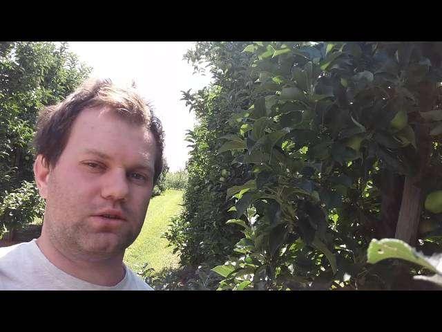 jak przycinac drzewa owocowe