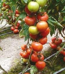 ochrona pomidora gruntowego przed chorobami