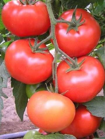 odmiany pomidorow