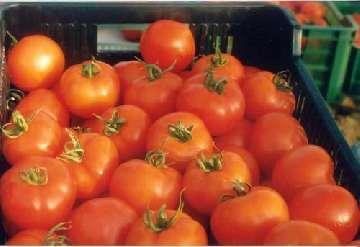 opryski na pomidory