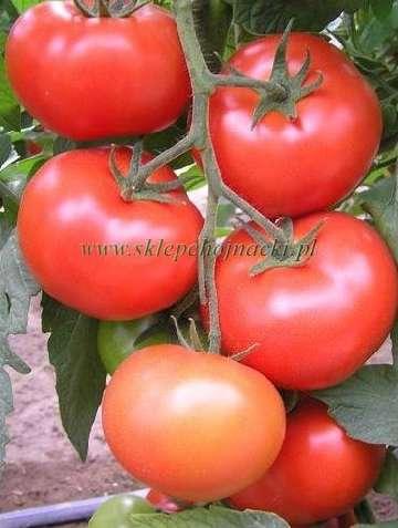 opryski pomidorów miedzianem