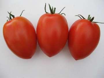 opryski pomidorów w gruncie
