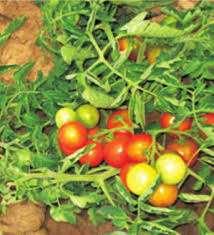osłona na pomidory