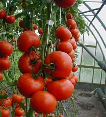 owocowanie pomidorów