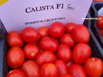 pielęgnacja pomidorów gruntowych
