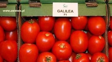 podlewanie pomidorow