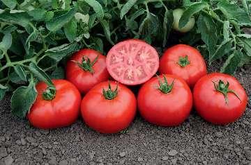 pomidor bawole serce nasiona