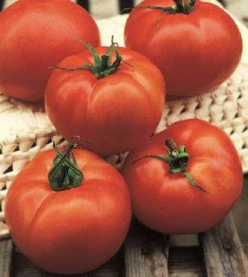 pomidor beefmaster