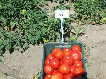 pomidor choroby liści