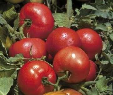 pomidor faworyt uprawa