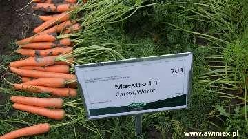 MARCHEW MAESTRO VILSEED