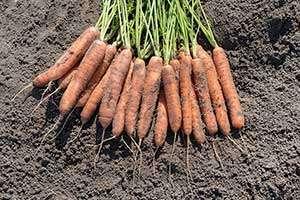 uprawa marchewki