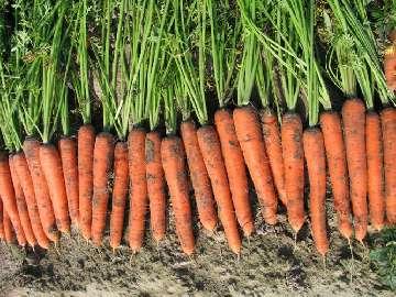 wysiew marchewki