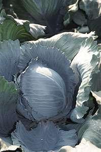 rozsady sałaty