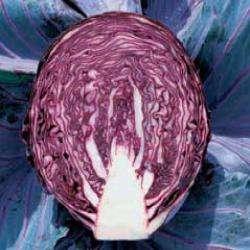 sadzonka sałaty