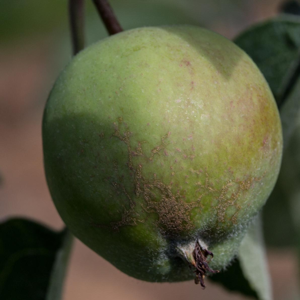 kwietnienie jabłoni