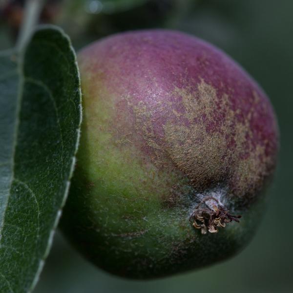kwaśne jabłka odmiany