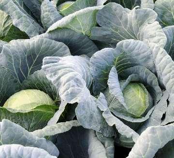 szkodniki warzyw kapustnych
